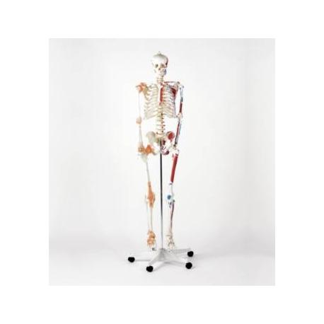 Squelette classique peint à la main
