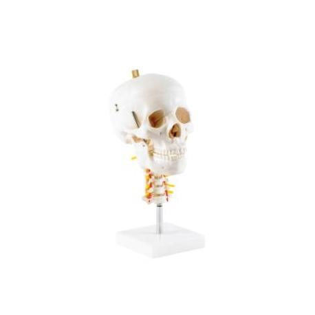 Crâne avec épine cervicale