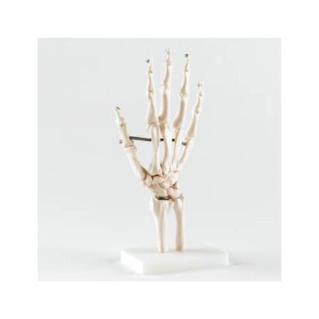 Articulation de la main - taille réelle