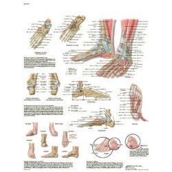 Planche anatomique du Pied et de la cheville