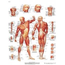 Planche anatomique de la Musculature humaine