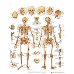 Planche anatomique du Squelette humain