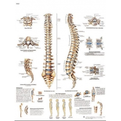 Planche anatomique de la Colonne vertébrale
