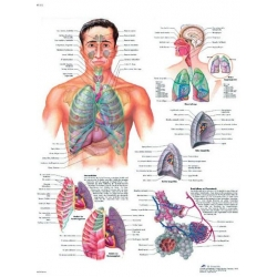 Planche anatomique du Système respiratoire