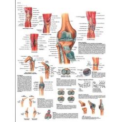 Planche anatomique du Genou